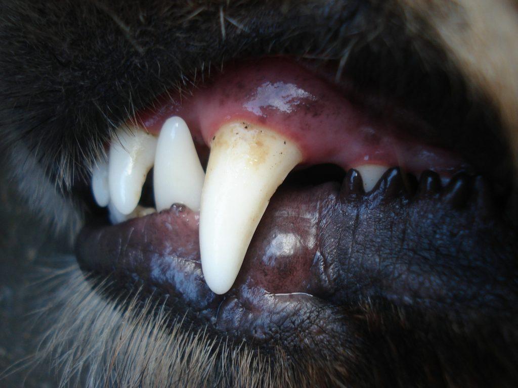 Honden_gebit