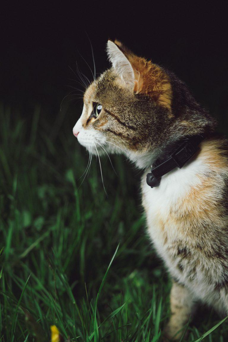kat met halsband